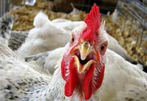 бизнес план птицефабрики